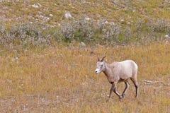 De schapen van Bighorn, oviscanadensis Royalty-vrije Stock Fotografie