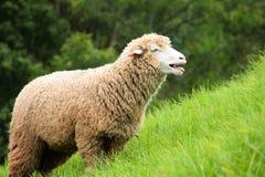 De schapen van Corriedale Stock Afbeeldingen