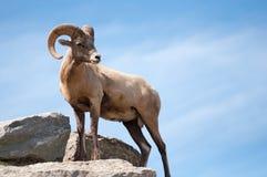 De schapen van Dall stock foto's