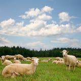 De schapen van de kudde royalty-vrije stock afbeeldingen