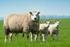 De schapen van de moeder en haar lammeren in de lente Stock Afbeeldingen