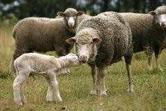 De schapen van de moeder en weinig lam Royalty-vrije Stock Afbeeldingen