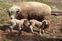 De schapen van de ooi met lammeren Stock Fotografie