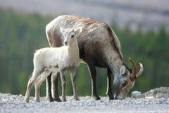 De Schapen van de steen op de Gebieden Yukon Stock Foto's