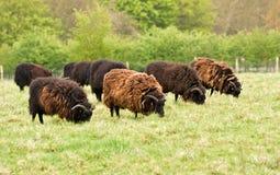 De schapen van Hebridean stock foto's