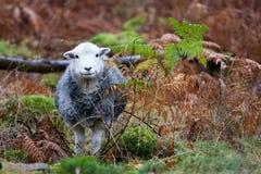 De schapen van Herdwick Stock Foto's