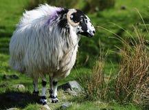 De schapen van Herdwick, meerdistrict, het UK Royalty-vrije Stock Afbeelding