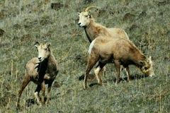 De Schapen van het Bighorn stock afbeelding