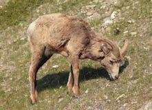 De schapen van het Bighorn Stock Foto