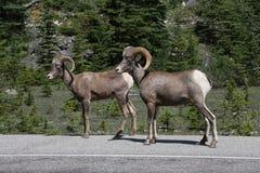 De Schapen van het Bighorn Stock Fotografie