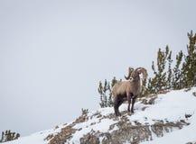 De Schapen van het Bighorn Royalty-vrije Stock Afbeeldingen