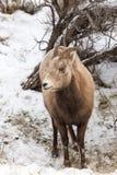 De Schapen van het Bighorn Royalty-vrije Stock Afbeelding