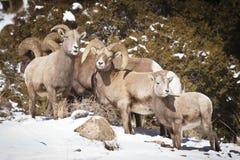 De Schapen van het Bighorn Royalty-vrije Stock Fotografie