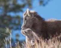 De Schapen van het Bighorn Royalty-vrije Stock Foto