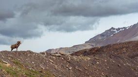 De Schapen van het Bighorn Royalty-vrije Stock Foto's