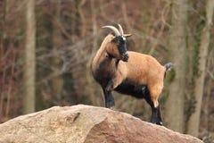 De schapen van Kameroen Stock Foto
