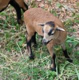 De schapen van Kameroen Royalty-vrije Stock Afbeeldingen