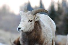 De schapen van Moutain Stock Fotografie