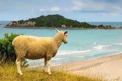 De schapen van Nieuw Zeeland op het strand in Onderstel Maunganui royalty-vrije stock foto
