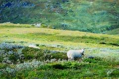De schapen van Noorwegen op bergenachtergrond Stock Afbeelding