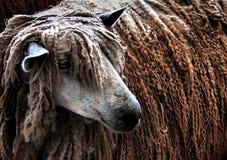 De schapen van Rasta Stock Fotografie