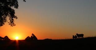 De schapen van de zonsondergangbezinning Royalty-vrije Stock Fotografie