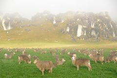De schapen verzamelen zich in een paddock bij Kasteelheuvel stock afbeelding