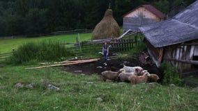 De schapen weiden in een weiland in de bergen stock videobeelden
