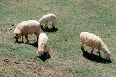 De schapen weiden het eten van gras, schapen op groen gebied stock afbeelding