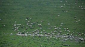 De schapen weiden op een groene hellingshoogte in de bergen stock videobeelden