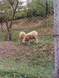 De schapen zijn hongerig stock foto's