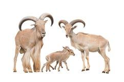 De schapenfamilie van Barbarije Royalty-vrije Stock Afbeeldingen