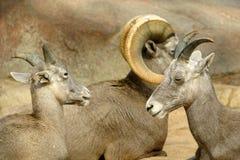De schapenfamilie van Bighorn in close-up stock foto's