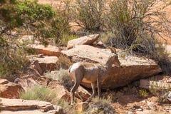 De Schapenooi van het woestijnbighorn in Colorado royalty-vrije stock foto's