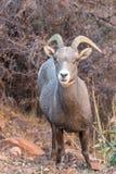 De Schapenooi van het woestijnbighorn in Daling royalty-vrije stock foto's