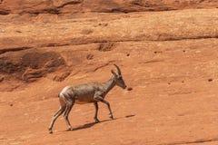 De Schapenooi van het woestijnbighorn op Rode Rotsen stock fotografie