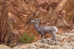 De Schapenooi van het woestijnbighorn in Rotsen royalty-vrije stock foto's