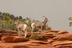 De Schapenooien van het woestijnbighorn Stock Foto's