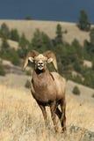 De schapenram van Bighorn Stock Afbeeldingen