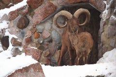 De schapenram van Bighorn in dierentuin Stock Fotografie