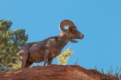 De Schapenram van het woestijnbighorn Stock Foto