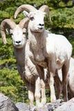 De schapenRammen van Bighorn Stock Afbeeldingen