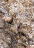 De schapenRammen van Bighorn Royalty-vrije Stock Foto's