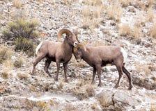 De schapenRammen van Bighorn Royalty-vrije Stock Afbeeldingen