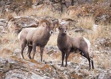 De schapenRammen van Bighorn Stock Foto's