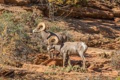 De Schapenrammen van het woestijnbighorn Royalty-vrije Stock Foto