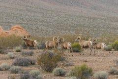 De Schapenrammen van het woestijnbighorn royalty-vrije stock fotografie