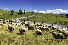 De schapentroep van Nieuw Zeeland het weiden in de mooie groene heuvel stock foto's