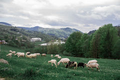 De schapenweiland van de ochtendberg Stock Afbeeldingen