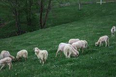 De schapenweiland van de ochtendberg Royalty-vrije Stock Foto